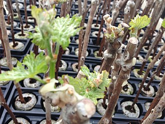 Cloning - Propagating plants from cuttings, such as grape vines, is an ancient form of cloning