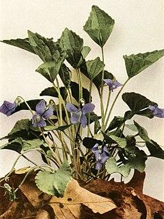 Viola sororia var. affinis WFNY-135B.jpg