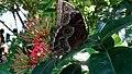 Vlindertuin - Aruba (15406123599).jpg