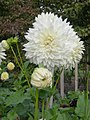 Volunteer Park dahlias 08.jpg