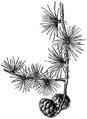WWB-0317-155-Larix europaea-crop.png