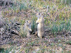 Washington ground squirrel (Urocitellus washingtoni), candidate 2.jpg