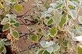 Wasp behavior - Helichrysum petiolare 2019 abc4.jpg