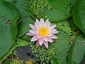 Water lily (3897015518).jpg