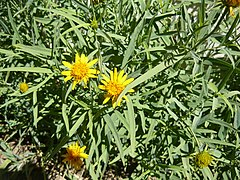 240px wedelia glauca 1