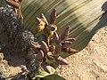 Welwitschia mirabilis (female).jpg