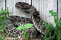Western Diamondback Rattlesnake (Cortalus atrox) (487577527).jpg
