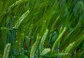 Wheat, Furano (7662406360).jpg