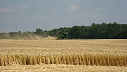 Wheat harvest in Richmond Township