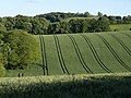 Wheatfield by Windthorn Lane - geograph.org.uk - 837679.jpg