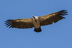 White-backed Vulture - Mara - Kenya 30240 (15444475796).jpg