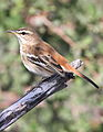 White-browed scrub robin, Cercotrichas leucophrys at Mapungubwe National Park, Limpopo, South Africa (17815156120).jpg
