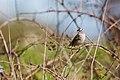 White-crowned sparrow (25827468164).jpg