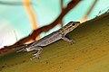 White-headed dwarf gecko.jpg