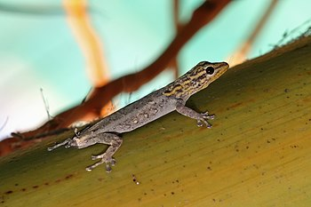 White-headed dwarf gecko with missing tail