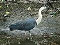 White-necked Heron RWD.jpg