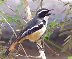 White-throated Robin-Chat (Cossypha humeralis).jpg