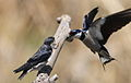 White-throated Swallow, Hirundo albigularis at Marievale Nature Reserve, Gauteng, South Africa. Sequence of two juveniles being fed on the fly by their parents. (15631493835).jpg