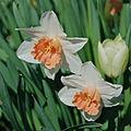 WhiteOrange Daffodils.jpg