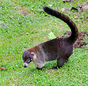 White-nosed coati - White-nosed coati at Arenal, Costa Rica