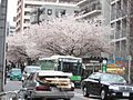 Wikimdiaupload-千川通り桜.jpg