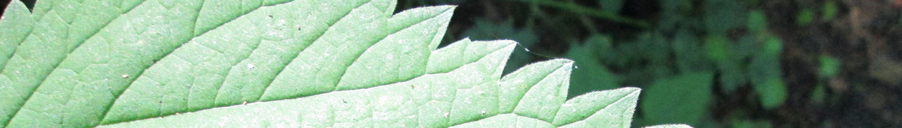 Wikivoyage page banner stinging nettle.jpg