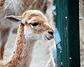 Wikunie mlode Lodz Zoo.jpg