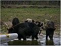 Wild Pigs - Evergaldes.JPG
