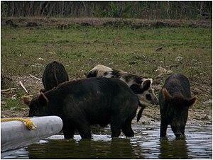 Wild Pigs, Everglades, FL, USA