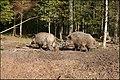Wild boars - panoramio.jpg