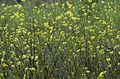 Wild mustard - Sinapis arvensis 02.jpg