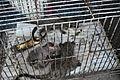 Wildlife trade - baby civets.jpg