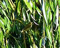 Willow Warbler (9622098283).jpg