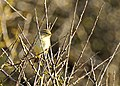 Willow Warbler - Nash Point - geograph.org.uk - 1490084.jpg