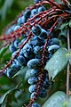 Wojsławice, arboretum, Mahonia japonica, plody II.jpg