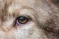 Wolf eye in São Paulo Zoo.jpg