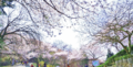 Wolmyeong Dong Park Cherry Blossom 3.png