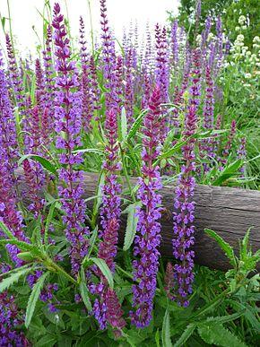[Image: 290px-Woodland_sage-Salvia_nemorosa.jpg]