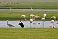 Woolly-necked Stork (Ciconia episcopus) with Greater Flamingoes & Grey Heron W2 IMG 9830.jpg