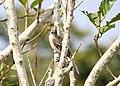 Yellow-bellied Elaenia (Elaenia flavogaster) (5198913822) (2).jpg