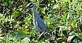 Yellow-crowned Night-heron (Nyctanassa violacea) Harris Co. TX. photo W. L. Farr.jpg