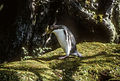 Yellow-eyed Penguin (Megadyptes antipodes) on Enderby Island, Auckland Islands, New Zealand.jpg