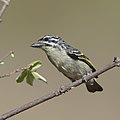 Yellow-fronted tinkerbird, Pogoniulus chrysoconus, at Rust de Winter Dam, South Africa. (45364883544).jpg