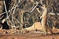 Yellow Mongoose Klipriviersberg Johannesburg.jpg