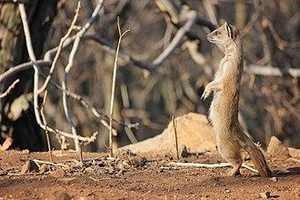 Yellow mongoose - Yellow mongoose, Klipriviersberg, Johannesburg