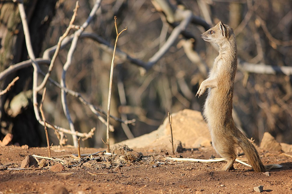 Yellow Mongoose Klipriviersberg Johannesburg