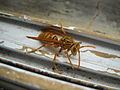 Yellow Wasp (4749168800).jpg