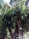Yucca gloriosa - Ένδοξη γιούκα.jpg