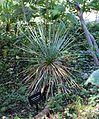 Yucca thompsoniana - Zilker Botanical Garden - Austin, Texas - DSC08745.jpg