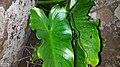 Zantedeschia odorata 26062528.jpg